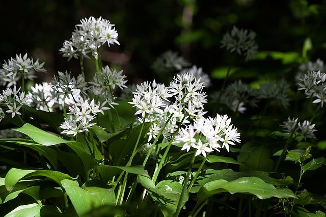 Blüte Bärlauch