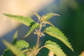 Heilpflanze Brennnessel