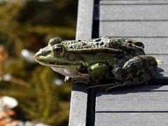 Frosch am Steg