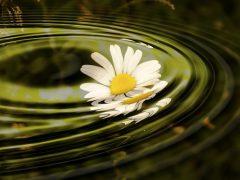 Gänseblümchen Wasser