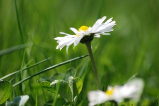 Frühlingsbote Gänseblümchen