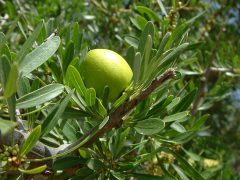Argan Frucht