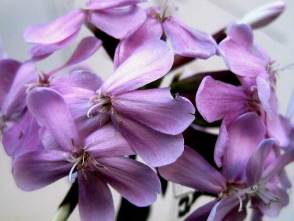 Seifenkraut Blüte